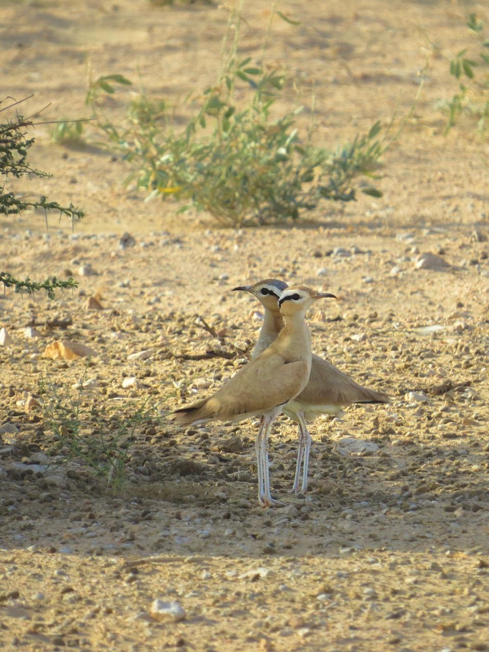 Cream-coloured Courser returns to Al Wusta Wildlife Reserve