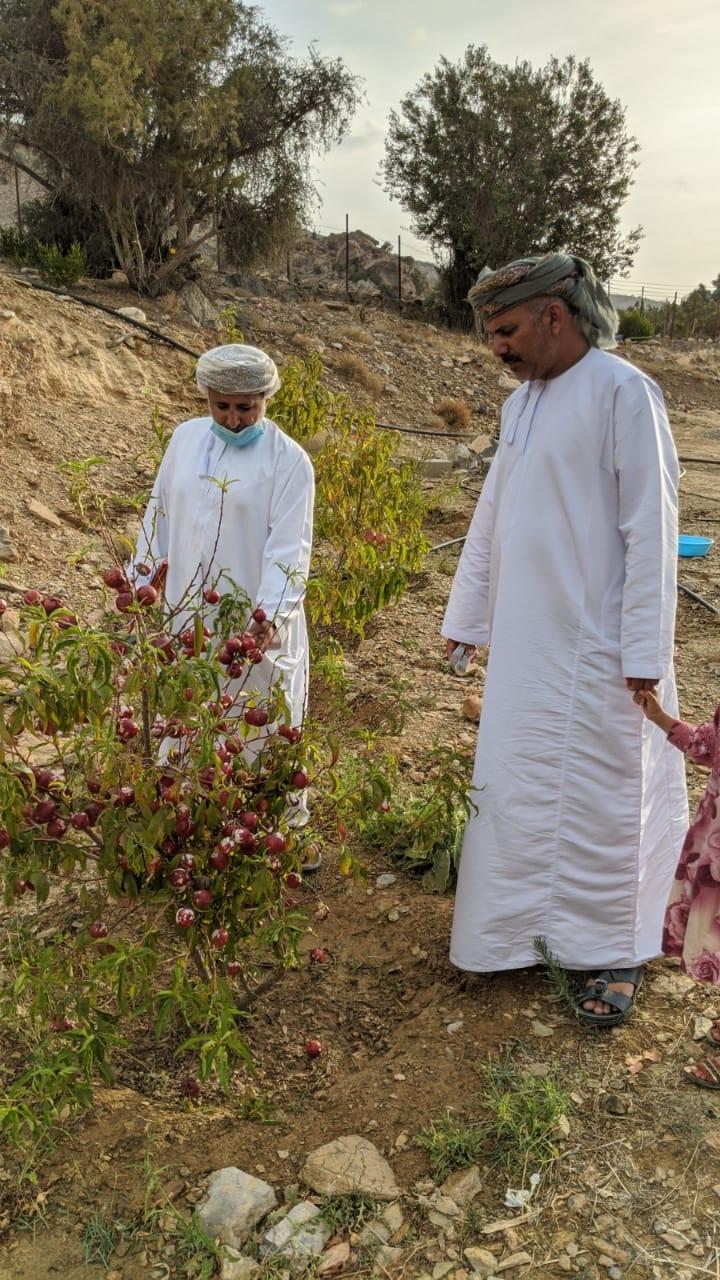 نشر طفيل فراشة الرمان بقرى جبل شمس