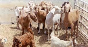 """""""الزراعة"""" تؤكد على توفر 200 ألف رأس من الأغنام والأبقار للبيع"""