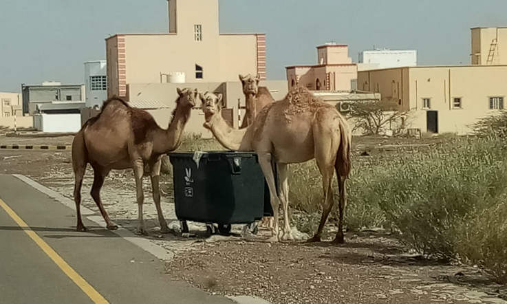 Owners of neglected, unsupervised animals to face fines in Oman