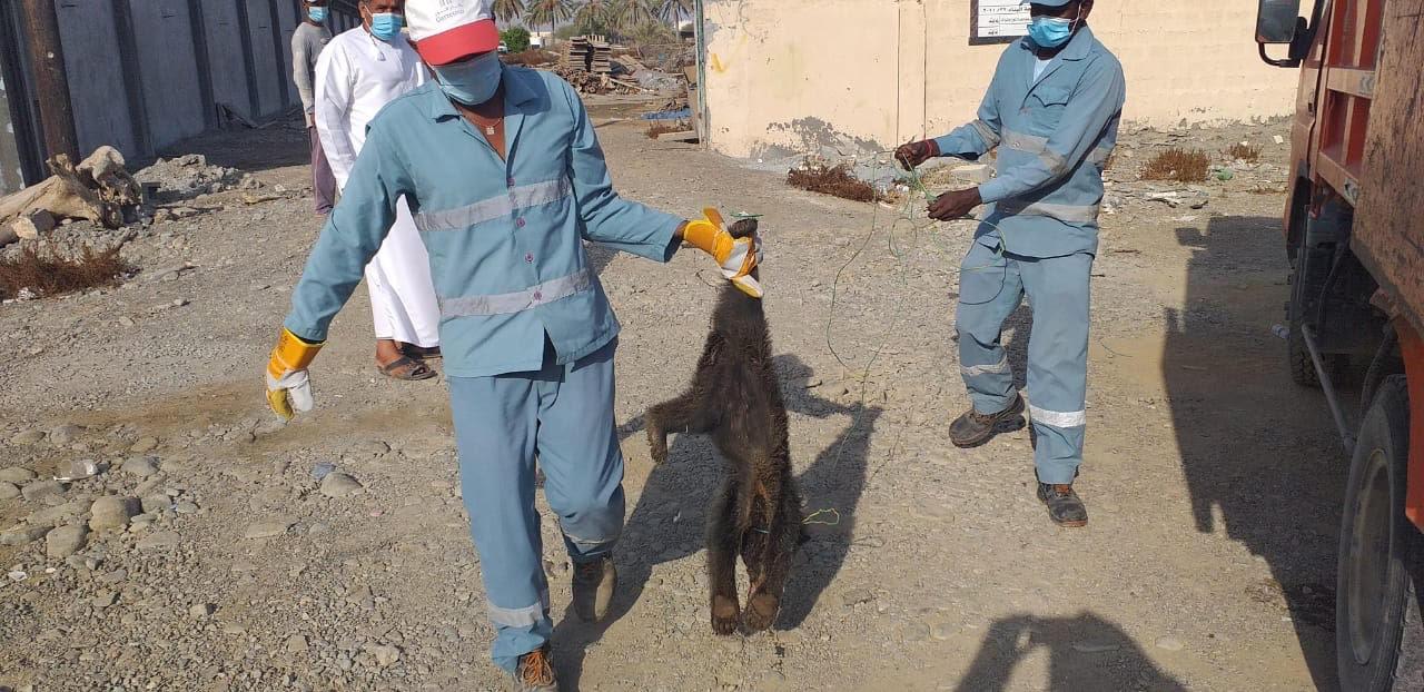 العثور على اثنين من صغار الدببه ميتين في شناص .. والشرطة والبلدية تدليان بتصريحات