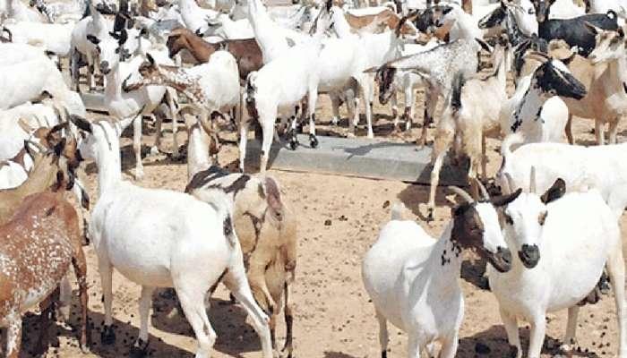 """مزاد """"إلكتروني"""" لبيع عدد من رؤوس الأغنام والأبقار المحلية"""