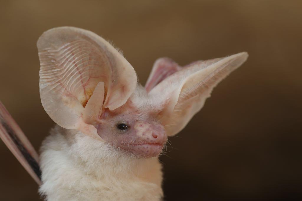 New bat species discovered in Oman's Dhofar Governorate