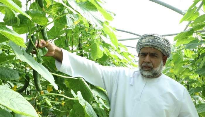 مزارع  ينجح في تطبيق تقنية التبريد للمحلول المغذي في الزراعة المائية