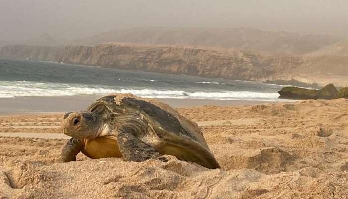 محمية السلاحف برأس الحد أهم ثالث محمية في العالم