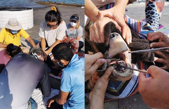 Endangered Loggerhead Turtle undergoes lifesaving operation in Oman