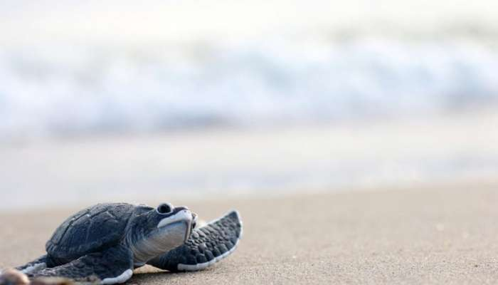 Over 100,000 turtles returned to sea in Oman