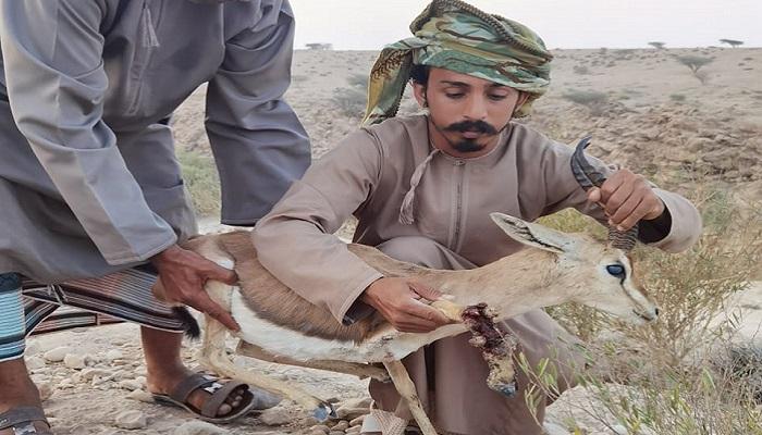 Injured Arabian deer to be treated by authorities in Oman