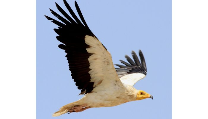 Oman taking steps to conserve raptors