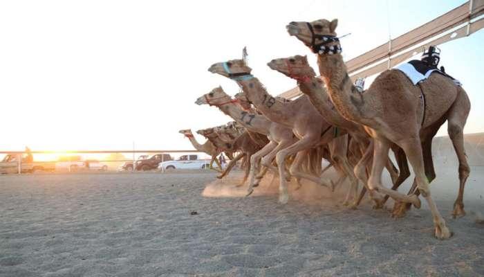 انطلاق منافسات سباق الهجن بصحم ضمن المهرجان السنوي للهجن الأهلية