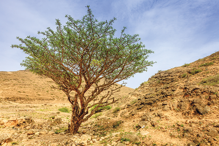 We Love Oman: How to care for a frankincense tree