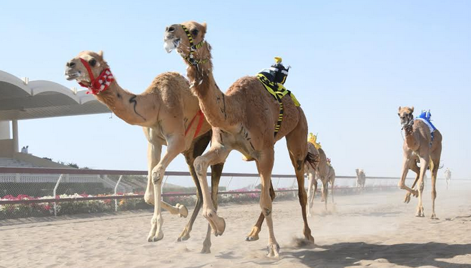 Annual camel race festival suspended