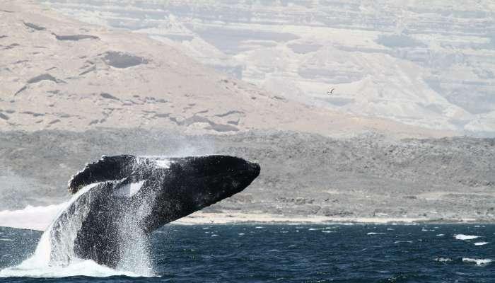 إشادة دولية بجهود السلطنة في إنقاذ الحوت الأحدب العالق في الشباك بميناء الدقم