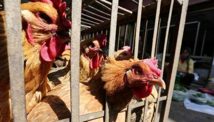 اليابان تعتزم إعدام  250 ألف دجاجة إضافية بسبب تفشي إنفلونزا الطيور