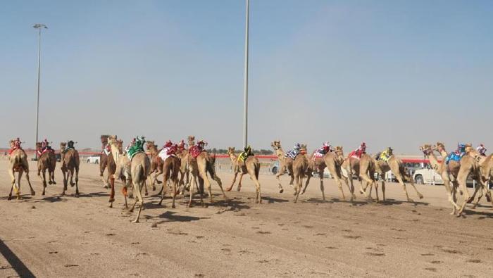 Al Bashayer camel festival kicks off