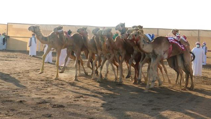 Al Bashayer camel race to continue for five days