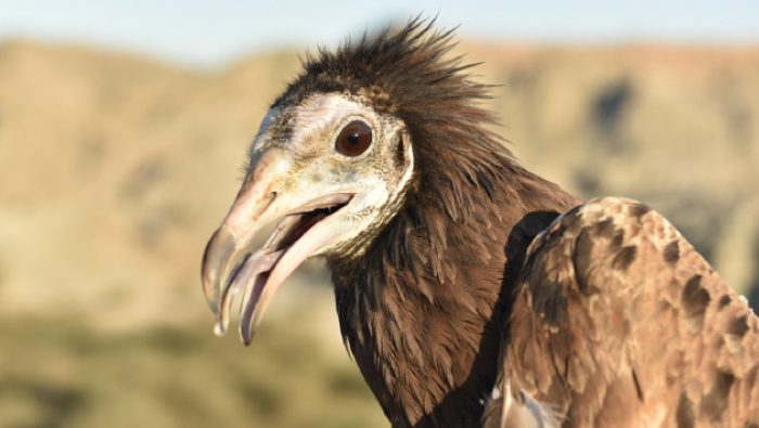 ESO awarded grant to protect Oman's Vultures