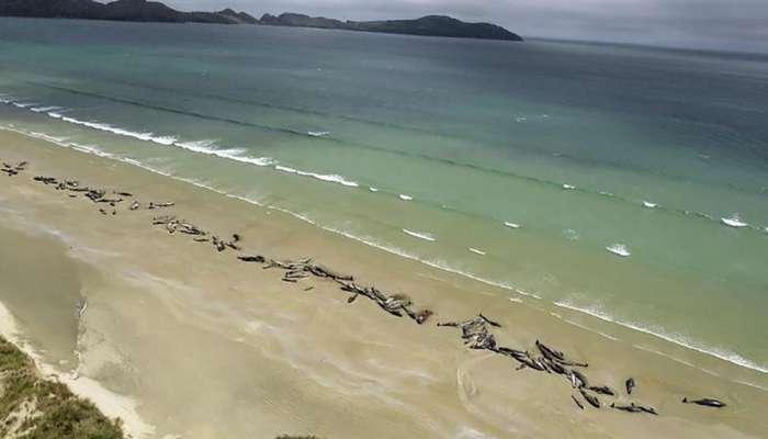 جنوح مجموعة من الحيتان الطيارة على سواحل نيوزيلندا