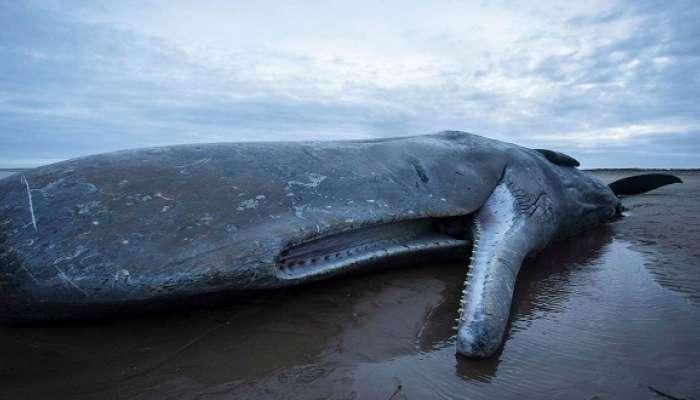 الصين تعثر على حوت عنبر نافق بطول 18 مترًا