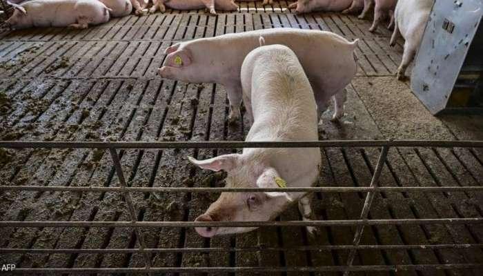 الصين تؤكد تفشي حمى الخنازير في إقليمين