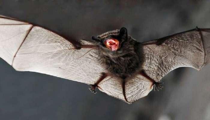 علماء صينيون يكتشفون فيروسًا جديدًا في الخفافيش مطابق بنحو 95% لكوفيد19