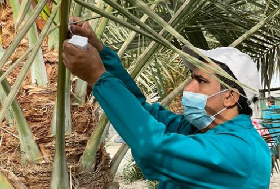 Project launched to combat date palm pests in Oman