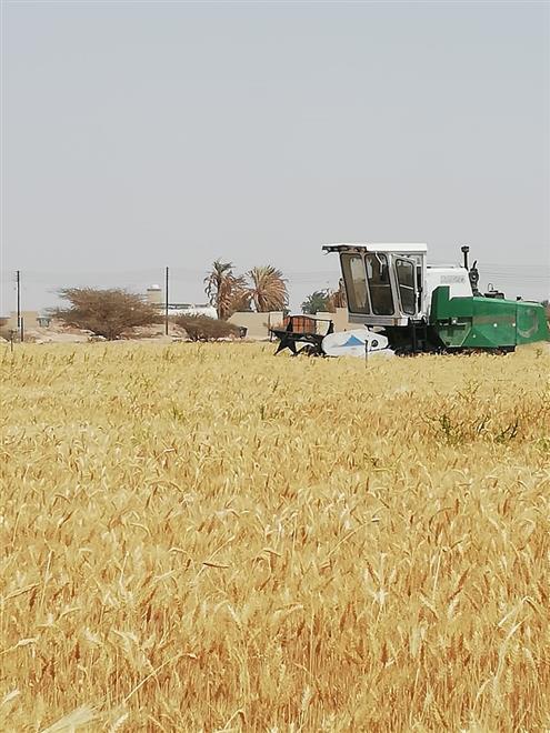 بدء حصاد القمح في أدم