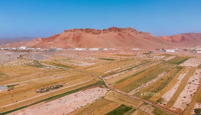 In Pictures   Wheat fields in Oman ripe for harvest