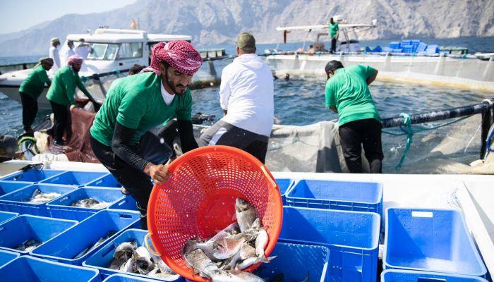 حصاد مشروع تطوير استزراع الأسماك الزعنفية في الأقفاص العائمة بمسندم