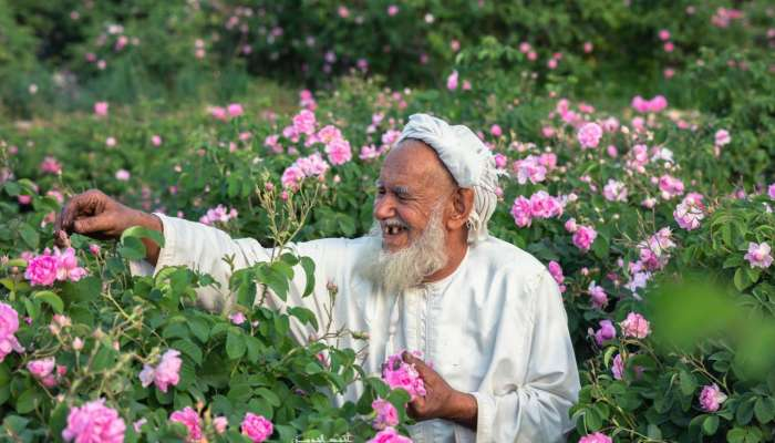 In pictures | Rose harvesting season comes to Oman