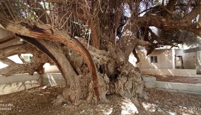 شجرة معمرة في السلطنة .. تعرف عليها