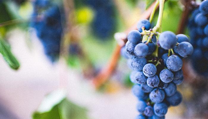 Oman plans grape cultivation