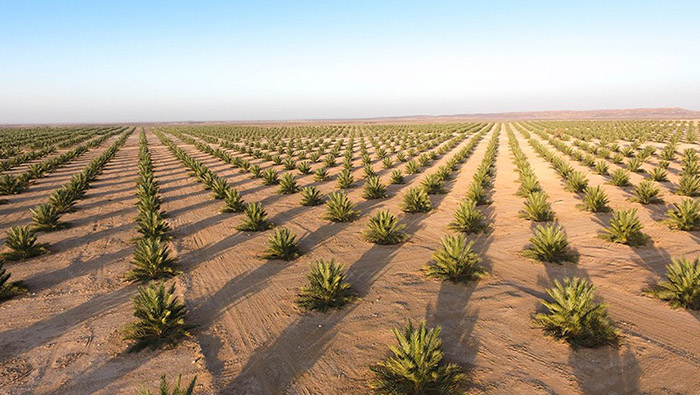 Steps initiated to manage One Million Date Palms Project