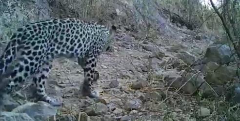 Arabian Leopard spotted in Oman