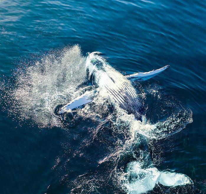 البحث عن الحوت الأحدب العربي في مياه بحر العرب بسدح