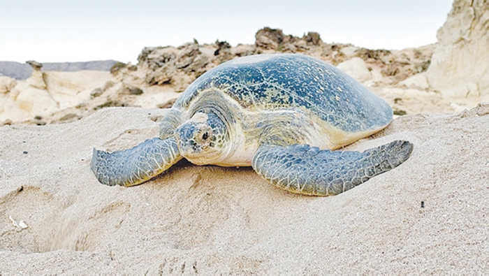 World Sea Turtle Day: A timely reminder that Oman's sea turtles need saving