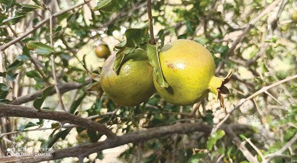 We Love Oman: Seasonal crops of Masah village