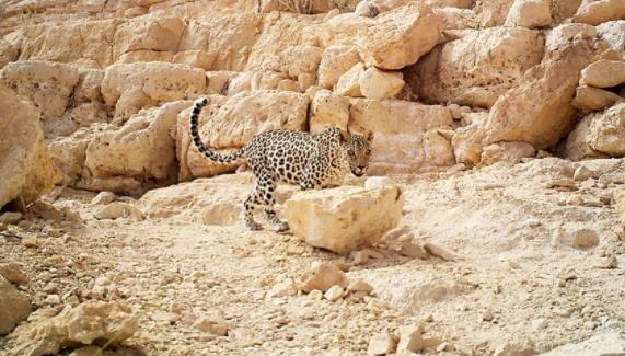 مكتب حفظ البيئة يرصد ظهورًا حديثًا للنمر العربي في شمال قرضيت بظفار
