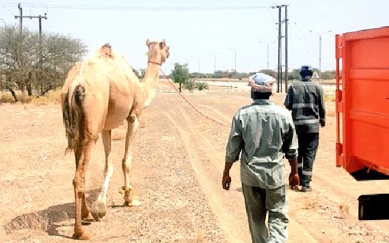 Stray animals seized in Oman