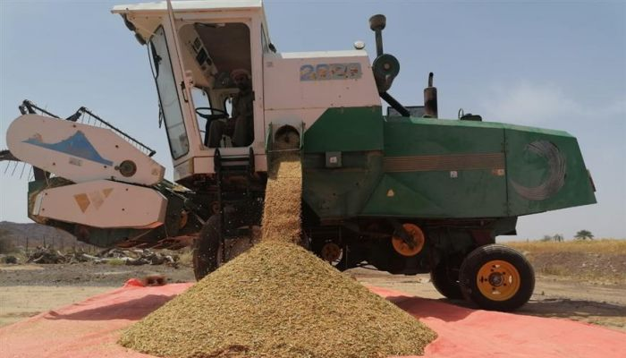 إنتاج أكثر من 563 طنًا من القمح العُماني ببهلاء