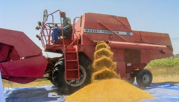 ارتفاع إنتاج القمح في السلطنة