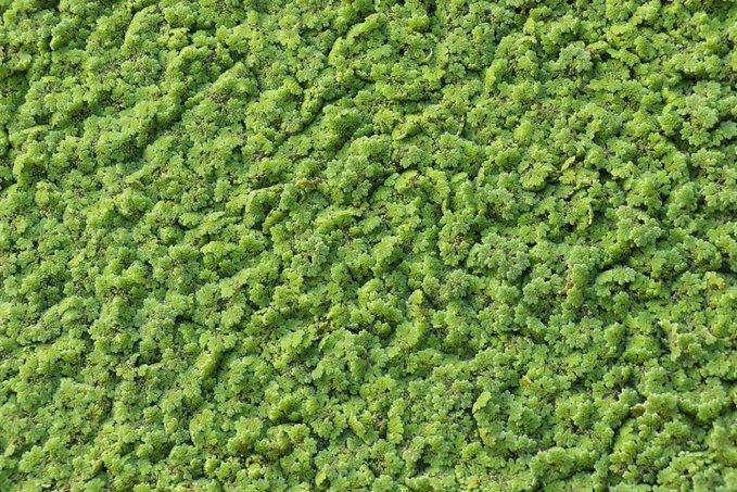 مستقبل واعد لزراعة 'نبات الأزولا' بوادي المعاول
