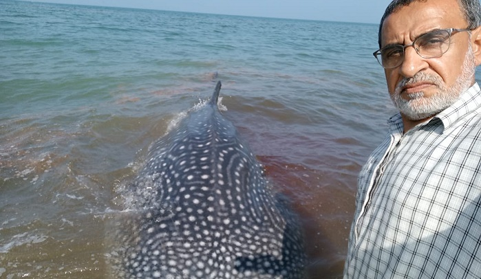 Best efforts to rescue whale shark beached in Oman come to nought