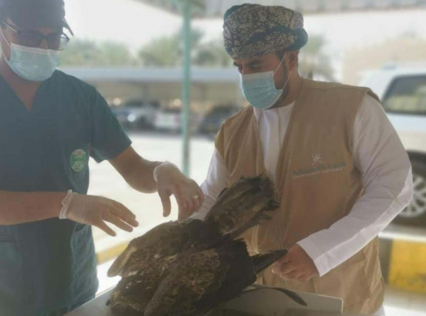 Injured striped eagle rescued in North Al Batinah